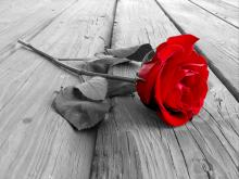 Monochrome photo of a red rose (the color of the red rose is filled in) laying on it's side