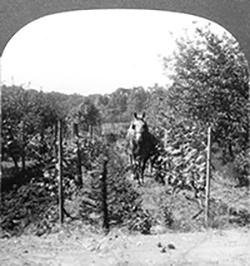 Old photo of horse driven through a vineyard with trees on sides and in background