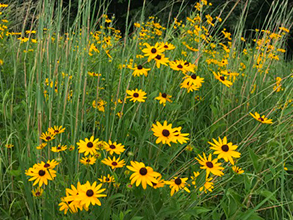 Black-eyed Susan daisies in a field of tall grass