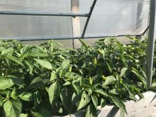Cold Frames peppers