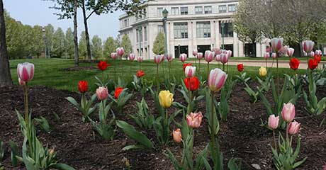 photo of tulips in a flowerbed with Kelvin Smith Library in the background