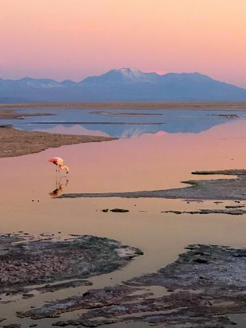 A flamingo drinks from a body of water at sunrise
