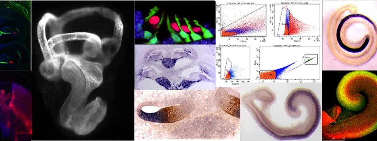 The compsite banner shows a variety of images from the Basch lab, including fluorescent immunostaining and in situ hybridizations of the inner ear.