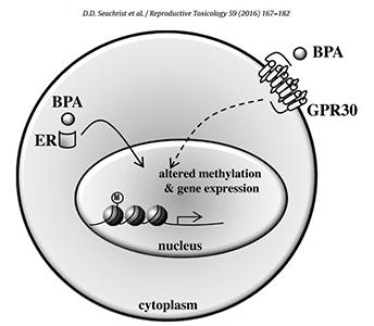 Illustration of BPA binding in a cell