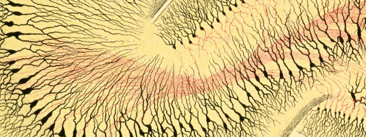 This is a drawing by Ramon y Cajal of mossy fibers in red projecting from the dentate to field CA3