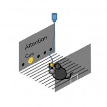 Image of mouse experiment in grey with mouse on black lines with blue cord connected to brain on one end and small blue circular divise on other, in grey box with two walls, the farthest with five dots running on the bottom, with the second lighting yellow which says Cue, and the word Attention above the dots