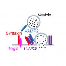 Image of vesicle release, with two vesicles, one being released into an area labeld SNAP25, and one labeled VAMP2 floating freely.  There are also colored bars, a blue one pointing to vesicle VAMP2 labeled Syntaxin, a red and pink one on, and crossing the grey line below labeled Nrg3, a red, two purple and one blue bar above the word SNAP25, and two purple bars on the grey line on botton right