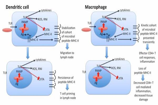 Dendritic Cell vs. Macrophage Cell