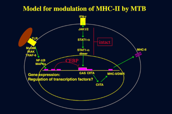 Model for modulation of MHC-II by MTB