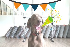 Weimaraner dog with streamers and party favor in fitness studio