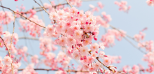 Branches of pink cherry blossoms
