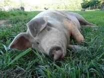 Pig laying in the grass