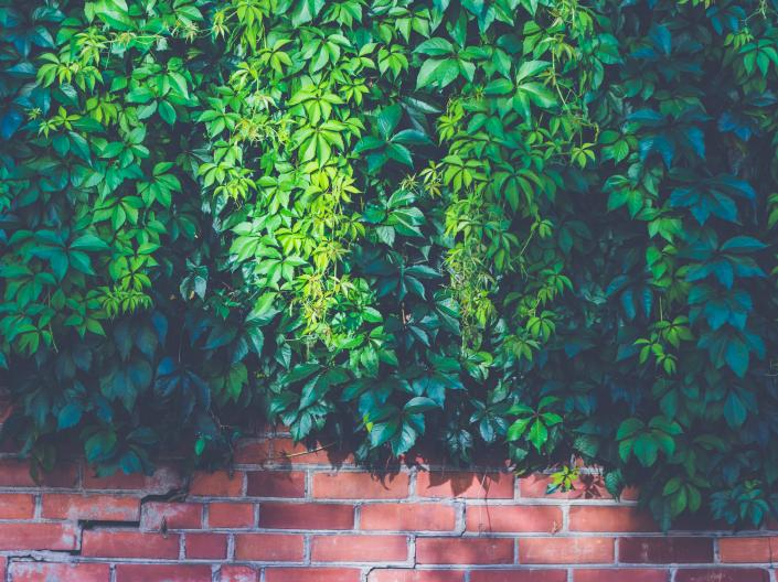 ivy covered brick wall